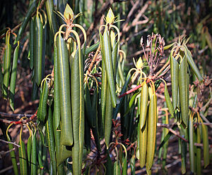 Rhododendron maximum - A cold-hardy species, R. maximum responds to subfreezing temperatures by curling, folding down, and clamping shut its foliage. This action helps protect the shrub from the desiccating effects of cold air.