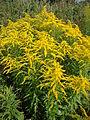 Nature of Minsk - flowers - 23 July 2014 AD.JPG