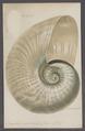 Nautilus umbilicatus - - Print - Iconographia Zoologica - Special Collections University of Amsterdam - UBAINV0274 091 03 0008.tif