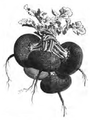 Navet noir rond ou plat Vilmorin-Andrieux 1883.png