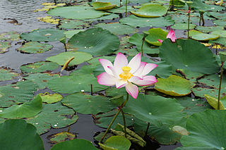 Pink lotus, widely regarded by Vietnamese as the national flower of the country which symbolising beauty, commitment, health, honour and knowledge.[174][175]
