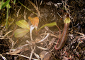 Nepenthes fusca.PNG