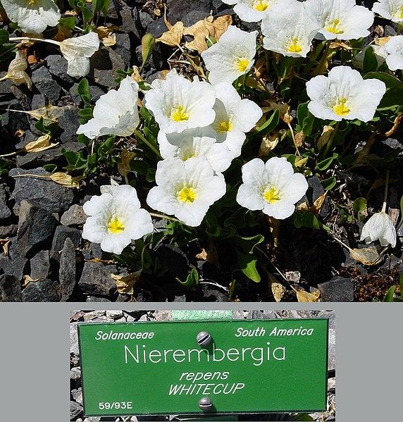 Fiori Bianchi Tappezzanti.Tappezzante A Fiori Bianchi Nierembergia Repens