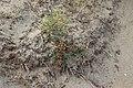 Noordwijk - Asperge (Asparagus officinalis) v3.jpg