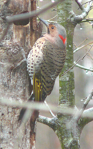 Yellow-shafted Northern Flicker (Colaptes aura...