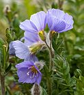 Northern Jacob's ladder (Polemonium boreale) in Skansbukta, Svalbard (1).jpg