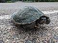 Northern Map Turtle (42972074262).jpg