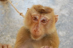 Northern Pigtailed macaque at Koh Lanta Yai Monkey School.JPG