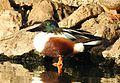 Northern Shoveller Anas clypeata male by Dr. Raju Kasambe DSCN6902 (4).jpg