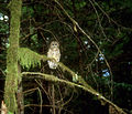 Northern Spotted Owl (8433119587).jpg