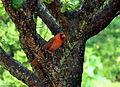Northern cardinal (8209930786).jpg
