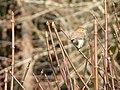 Northern pygmy owl (b13965fa87424e6eae1c9f1b18fd7076).JPG