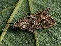 Nyctegretis triangulella (41171388192).jpg