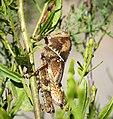 Nymph of Egyptian grasshopper. Anacridium aegyptium (39946955371).jpg