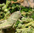 Nymph of Egyptian grasshopper. Anacridium aegyptium - Flickr - gailhampshire (3).jpg