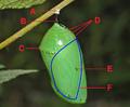 Nymphalidae - Danaus plexippus Chrysalis tagged.png