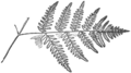 OFH-041 Pteris aquilina lower pinna.png