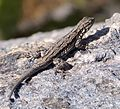 ORNATE TREE LIZARD Urosaurus ornatus - Flickr - gailhampshire (3).jpg