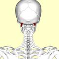 Obliquus capitis superior muscle01.png