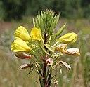 Oenothera rubricaulis 2014 G1