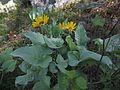 Okanagan Sunflowers in Skaha Bluffs Park.jpg