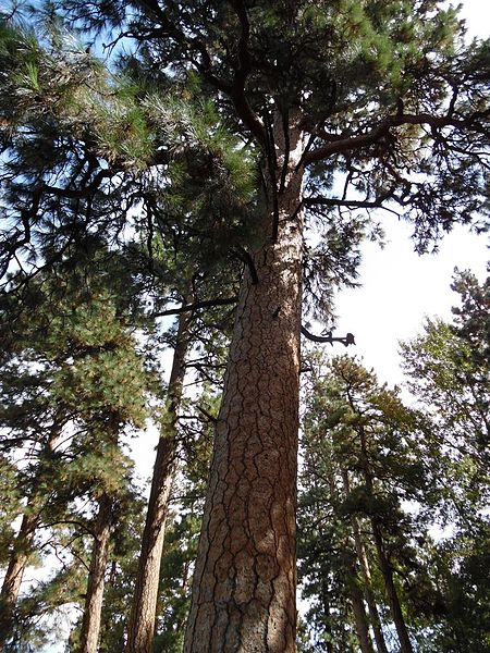 File:Old-growth pine in Sister State Park, Oregon.jpg