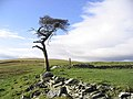 Old pine tree on Broadlee Hill - geograph.org.uk - 317617.jpg
