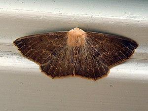 Ourapterygini - Omnivorous Looper (Sabulodes aegrotata), dark individual