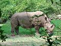 One horned rhinoceros.jpg
