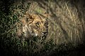 One lion.jpg