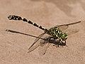Onychogomphus forcipatus LC0224.jpg