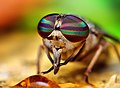 Opo Terser - Female Tabanus Horse Fly (by) (1).jpg
