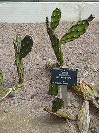 Opuntia anacantha var. kiska-loro (Cactaceae).JPG