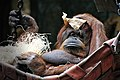 OrangOutan nenette jardinDesPlantes paris.jpg