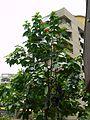 Orange Geiger tree (819331645).jpg