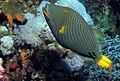 Orange Striped Triggerfish, Balistapus undulatus at Little Brother, Red Sea, Egypt -SCUBA (6214935419).jpg