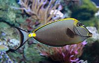 Orangespine Unicornfish - Naso lituratus.jpg