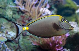 Orangespine Unicornfish - Naso lituratus