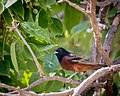 Orchard Oriole (m) (27157868059).jpg