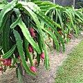 Orchard of dragon fruit.jpg