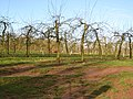 Orchards in winter - geograph.org.uk - 678180.jpg