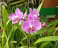 Orchidées-Jardin botanique de Peradeniya-Sri Lanka (6).jpg