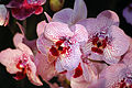 Orchids @ Taipei International Flora Expo (5234510607).jpg