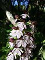 Orchis purpurea sl13.jpg