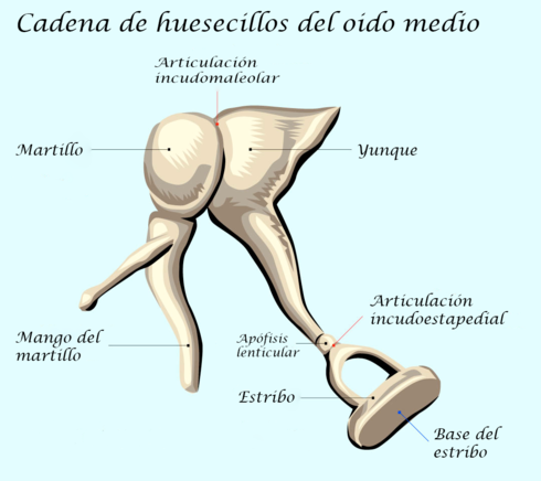 Articulación incudoestapedial - Wikiwand