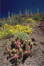 Organ pipe cactus 11.jpg