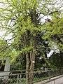 Orgeval (Aisne) Ginkgo biloba (l'arbre).JPG