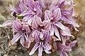 Orobanche californica ssp. californica.jpg