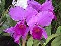 Orquídea Colombia.jpg