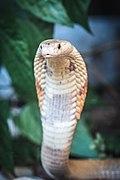 Os rastros das cobras Zoo recebe mais 18 serpentes criadas ilegalmente (50100696091).jpg